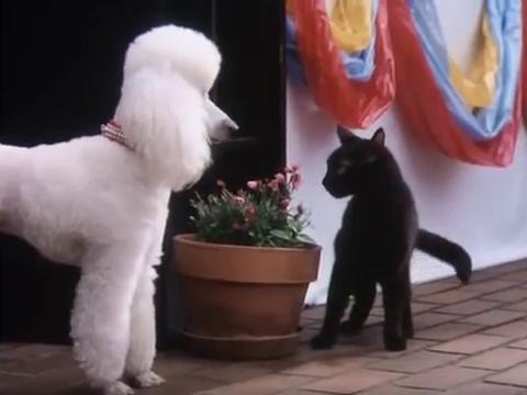sabrina-movie-195-poodle-salem